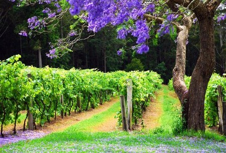 Bago Vineyards - Great Ocean Road Tourism