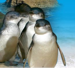 Phillip Island Penguin Parade - Great Ocean Road Tourism