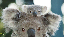 Billabong Koala and Wildlife Park - Great Ocean Road Tourism