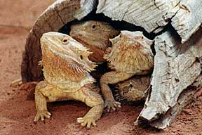 Alice Springs Reptile Centre - Great Ocean Road Tourism
