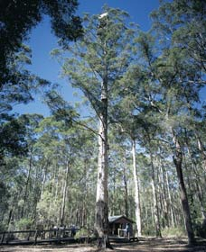 Diamond Tree Lookout Manjimup - Great Ocean Road Tourism