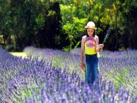Brayfield Park Lavender Farm - Great Ocean Road Tourism
