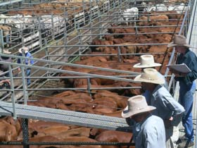Dalrymple Sales Yards - Cattle Sales - Great Ocean Road Tourism
