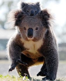 Koalas in Gunnedah - Great Ocean Road Tourism