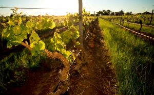 Kaesler Old Vine Vineyard Tour - Great Ocean Road Tourism