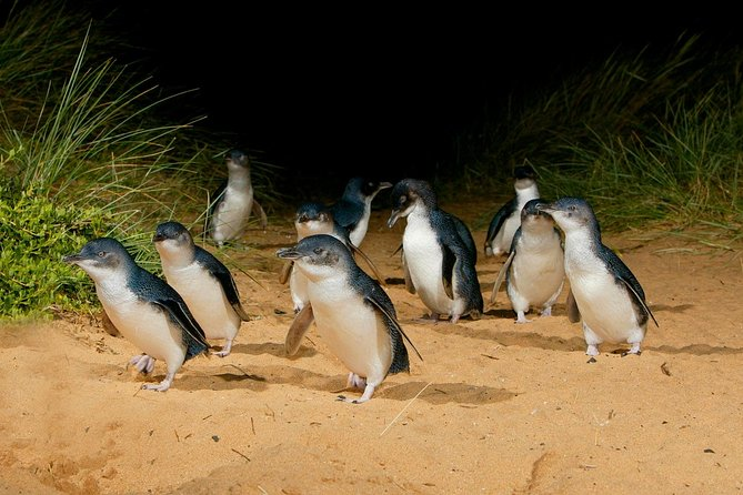 Phillip Island Penguin Parade Afternoon Tour from Melbourne - Great Ocean Road Tourism