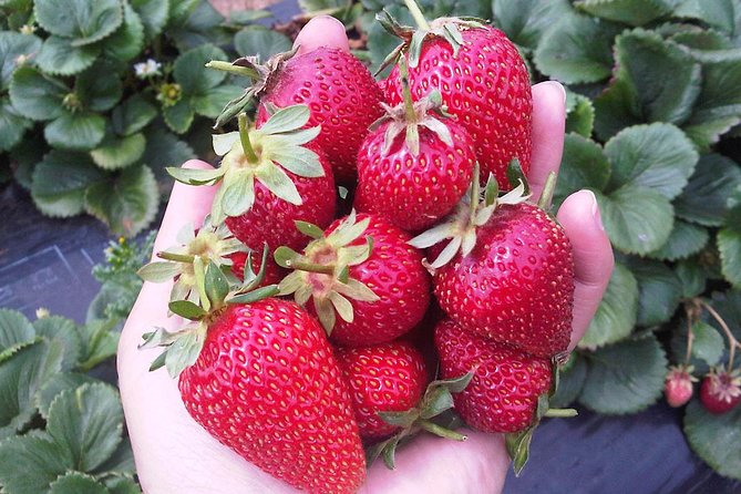 Mornington Peninsula including Strawberry Farm Day Tour from Melbourne - Great Ocean Road Tourism