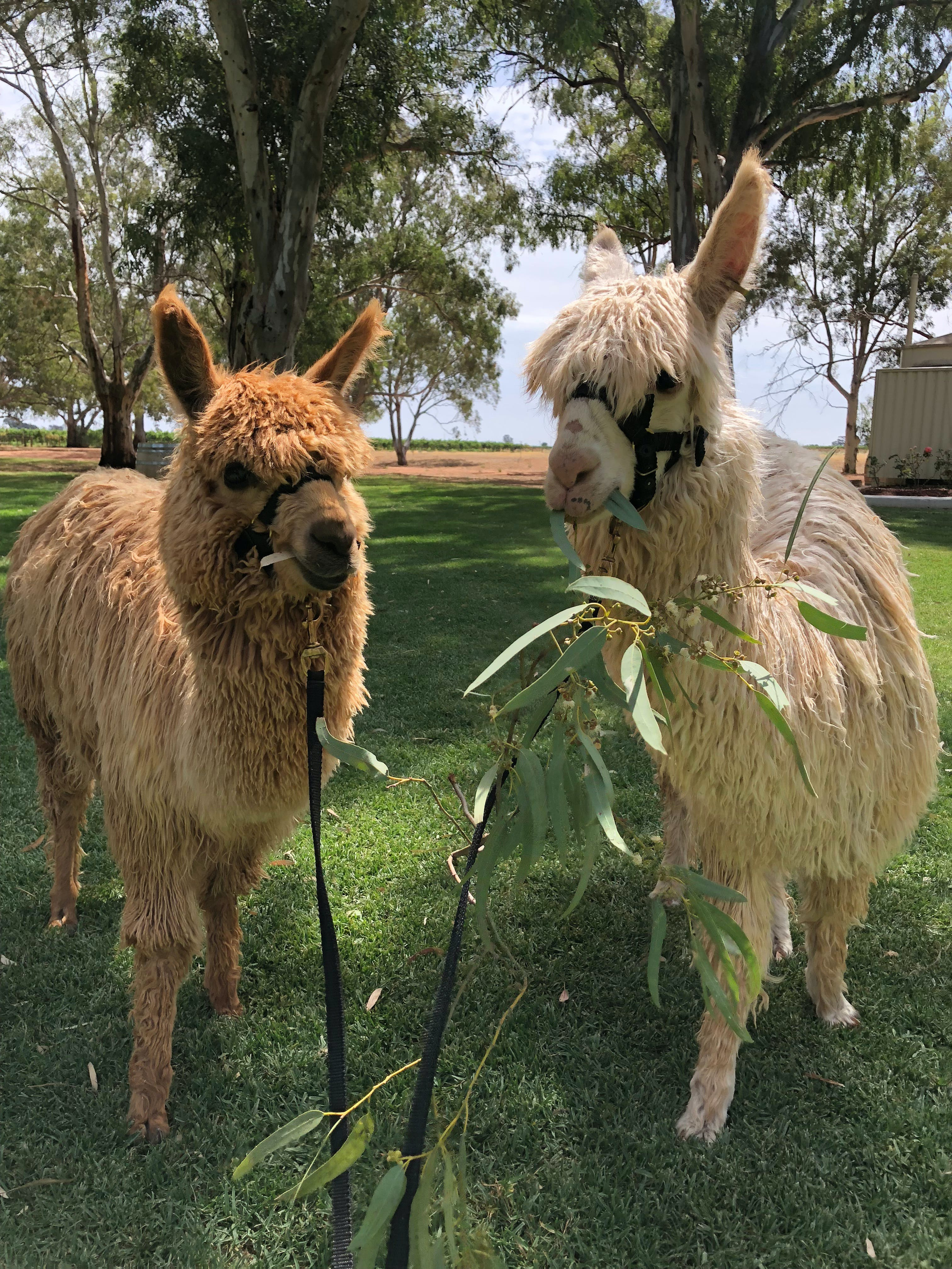 Visit an alpaca farm and get up and personal with these gentle and unique animals - Great Ocean Road Tourism
